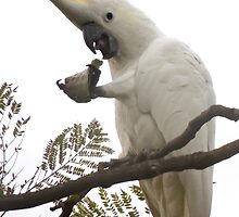 Sulfur-crested cockatoo flares its comb by Dan & Emma Monceaux