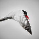 Common Tern by (Tallow) Dave  Van de Laar