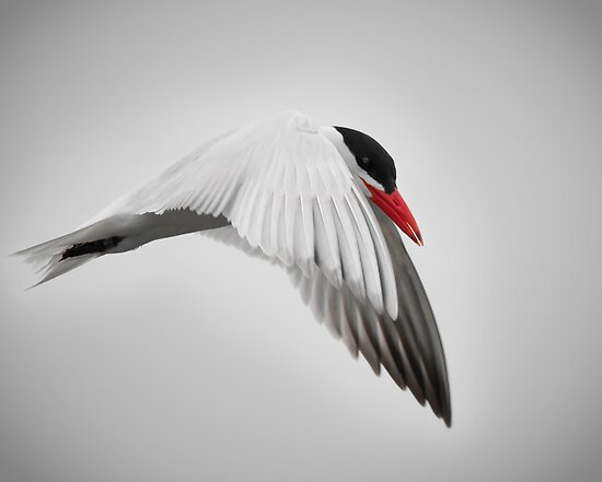 Common Tern by (Tallow) Dave  Van de Laar