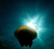 Canon Ball Jellyfish by Duncan Macfarlane
