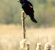 Perched...Looking for Mrs Right!! by Larry Llewellyn
