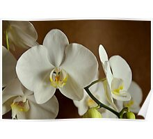 White orchid phalaenopsis Poster