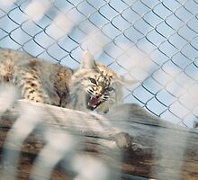 Unhappy Bobcat by johntbell