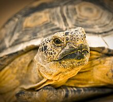 Desert Tortoise by rbnikonphoto