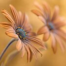Daisy Double  by Mandy Disher