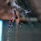 My Own Orb Weaver by Larry Davis