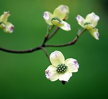 dogwood blossoms by strypes
