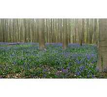 Hallerbos Blues Photographic Print