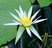 Water Lily by elizabethrose05
