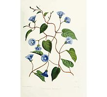 Familiar Flowers of India With Colored Plates, Lena Lowis 0085 Gonvolvulus Pentanthus Photographic Print