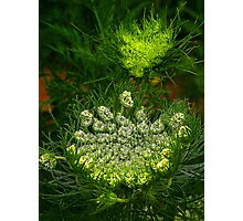 Carrot flowers Photographic Print
