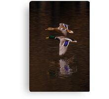 The flight of the Mallard Canvas Print