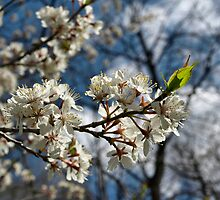 Blossoms in the wild by marchello