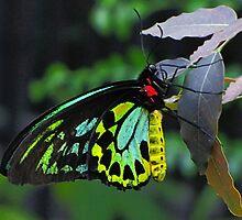 Madam Butterfly by SuzieCheree