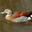 Ringed Teal (male) by Robert Abraham