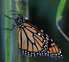 The Monarch Butterfly by SuzieCheree