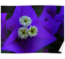3 White Tiny Bougainvillea flowers in Purple Poster