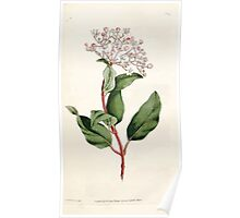 The Botanical magazine, or, Flower garden displayed by William Curtis V1 V2 1787 1789 0086 Viburnum Tinus, Common Laurustrinus Poster