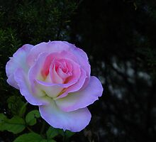 Fresh Pink Rose by TeAnne