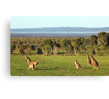 The roos are in the top paddock! Canvas Print