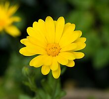 Yellow marigold by Nordlys