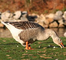 Goose in the Sun Eating by DebbieCHayes