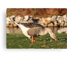 Goose in the Sun Eating Canvas Print