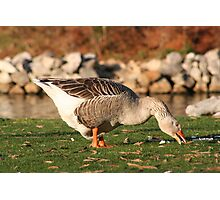 Goose in the Sun Eating Photographic Print
