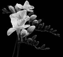 White Freesia by Ray Clarke