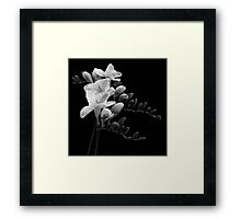 White Freesia Framed Print