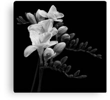 White Freesia Canvas Print