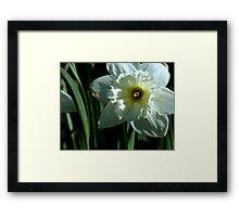 White Daffodil Framed Print