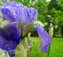 First Iris Bloom of the Season by debbiedoda