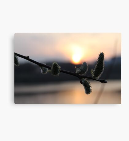 willow againg Canvas Print