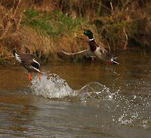 Ducks take flight by RFK C