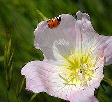 Ladybug on Primrose by Colleen Drew