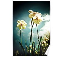 3 White Daffodils Poster