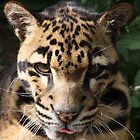 clouded leopard by Idano