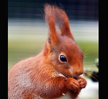 Squirrel Nutkins by Dave  Knowles