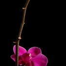 Phalaenopsis Orchid: Beauty on its own. by Erik Anderson