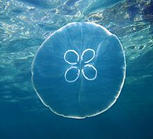 Moon jellyfish and water surface by Dam - www.seaphotoart.com