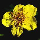 Mellow Yellow   by BevsDigitalArt