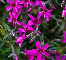 Purple Phlox by Edward Myers