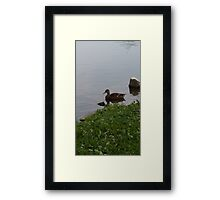 Lonely duck Framed Print