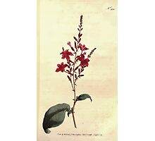 The Botanical magazine, or, Flower garden displayed by William Curtis V7 V8 1794 0029 Plumbago Rosea, Rose Coloured Lead Wort Photographic Print