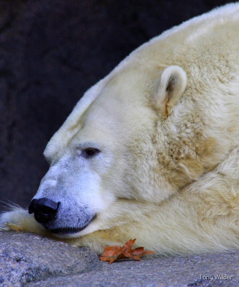 Winter Blues - Polar Bear by Tony Wilder