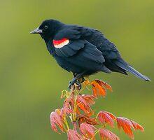 Redwing Blackbird by (Tallow) Dave  Van de Laar