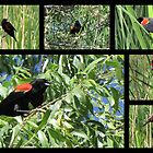 Red-winged Blackbird ~ Collage by Kimberly P-Chadwick