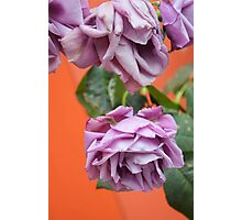 Purple Heirloom Rose Photographic Print