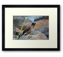 Indian Myna Bird Framed Print
